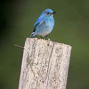 Mountain Bluebird (Sialia currucoides) Male sitting fence post near nestbox. Bridger Mountains. Montana