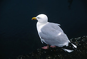 AE2MG5 Black backed gull perched on quayside view from side rear