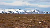 Iceland; Lagopus muta; Rock Ptarmigan; Thingeyjarsyslur