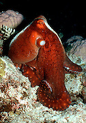 UNDERWATER MARINE LIFE WEST PACIFIC; generic Reef Octopus sitting upright on tentacles