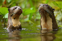 Giant River Otters (Pteronura brasiliensis) in Anangu creek, Yasuni National Park, Orellana Province, Ecuador