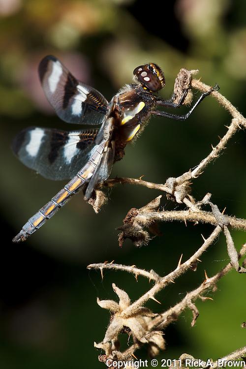 USA, Oregon, Albany, Freeway Ponds County Park, male Twelve-spotted Skimmer (Libellula  pulchella)
