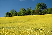 10.05.2016. Małopolska, wiosenny pejzaż. Kwitnący rzepak