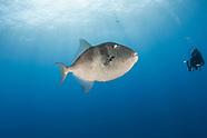 Grey triggerfish-Baliste gris (Balistes capriscus)