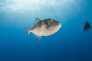 Grey triggerfish-Baliste gris (Balistes capriscus), Pico Island, Azores Archipelago.