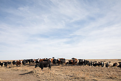 cattle on a ranch in New Mexico