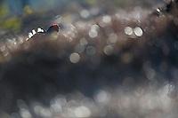 11.04.2009.Black Grouse (Tetrao tetrix) displaying on a bog. Lekking behaviour. Courting. Frost..Bergslagen, Sweden.
