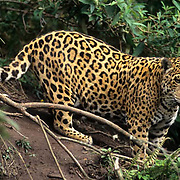Jaguar, (Panthera onca) Inhabits the rainforest of Central and South America.  Captive Animal.