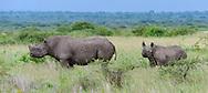 Black rhinoceros with calf, [Secret location] HIGHLY ENDANGERED, © David A. Ponton