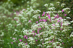 Cow Parsley and Red Campion growing on the verge of a Dorset lane. Anthriscus sylvestris and Silene dioica syn. Melandrium rubrum