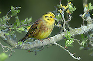 Yellowhammer Emberiza citrinella L 15-17cm. Colourful bunting with diagnostic song. Forms flocks outside breeding season. Sexes are dissimilar. Adult male has mainly yellow head and underparts, and reddish brown back and wings. Note faint dark lines on head, chestnut flush to breast and streaking on flanks; rump is reddish brown and bill is greyish. In winter, similar but duller and more streaked. Adult female has streaked greenish grey head and breast, streaked pale yellow underparts and brown back; note reddish brown rump. Juvenile is similar to adult female but more streaked. Voice Has a rasping call. Song is rendered 'a little bit of bread and no cheese'. Status Fairly common resident of farmland and open country with scrub and hedges. Winter flocks often feed on arable fields.