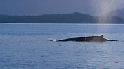Humpback Whale, Sitka, Alaska, USA