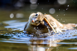 © Licensed to London News Pictures. 15/06/2021. Leeds UK. A duckling splashes in the bright sunshine at Golden Acre park in Leeds this morning. Photo credit: Andrew McCaren/LNP