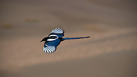 Black-Billed Magpie in Flight at Great Sand Dunes National Park, Colorado. Image taken with a Nikon D300 and 80-400 mm VR lens (ISO 200, 400 mm, f/8, 1/1600 sec).