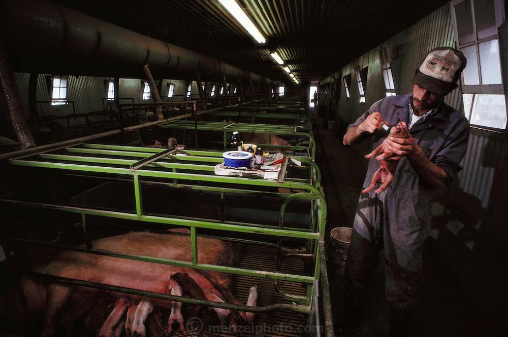 Pigs/Swine/Hog: Vaccinating a newborn pig at the Mitri Hog Ranch. USA.