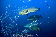 Goliath groupers, Epinephelus itajara ( endangered species ), at spawning aggregation, Florida ( Gulf of Mexico )