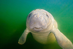 Florida manatee, Trichechus manatus latirostris, calf with neonatal folds and still prominent navel, endangered subspecies of the West Indian manatee, Kings Bay, Crystal River, Florida, USA, Gulf of Mexico, Caribbean Sea, Atlantic Ocean