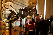 The Natural History Museum, London. Dinousaur gallery. The bones of a Triceratops is marvelled at by visitors.