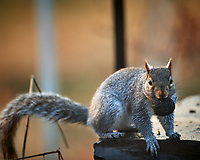 Squirrel with a black walnut. Image taken with a Nikon D5 camera and 600 mm f/4 lens (ISO 1600, 600 mm, f/4, 1/320 sec)