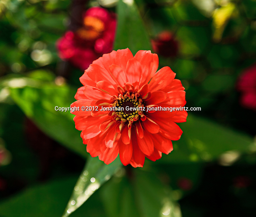 An orange Zinnia flower viewed from above in a garden. WATERMARKS WILL NOT APPEAR ON PRINTS OR LICENSED IMAGES.