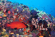 coral ( jewel ) grouper, Cephalopholis miniata, on coral reef, Maaya Thila, Ari Atoll, Maldives ( Indian Ocean )