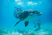 bottlenose dolphins, Tursiops truncatus (c), Discovery Cove, Florida, not to be used in anti-captivity campaigns