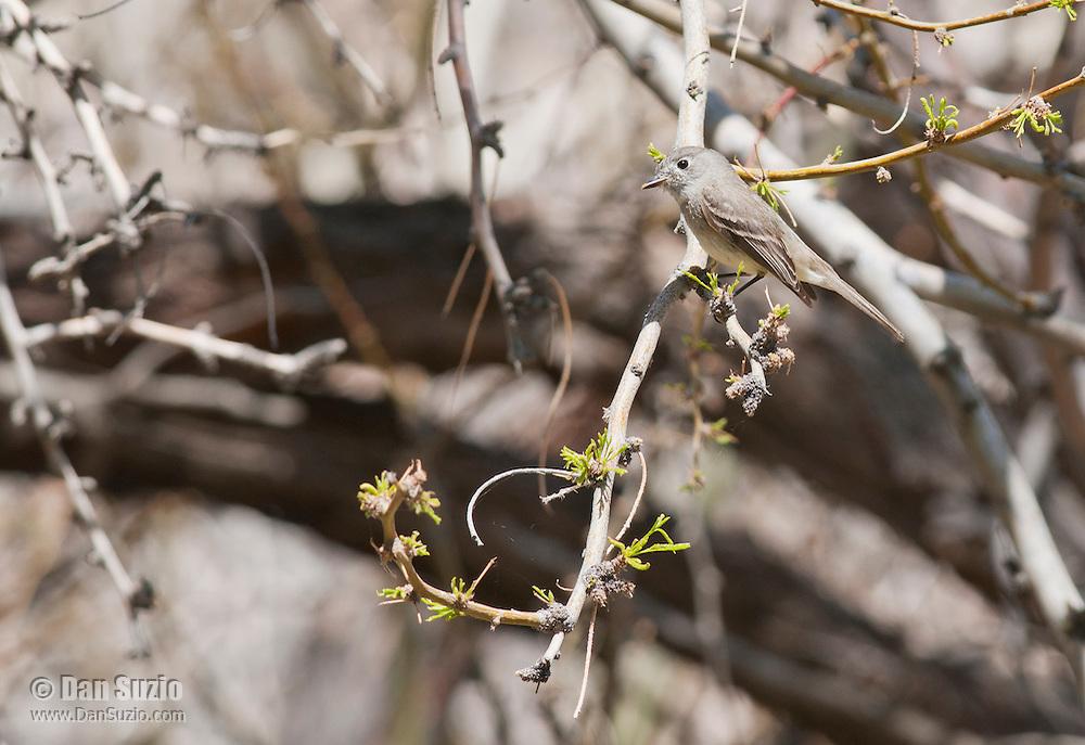 Hammond's flycatcher, Empidonax hammondii, in Wildrose Canyon, Death Valley National Park, California