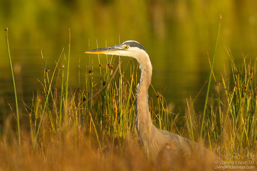 A great blue heron (Ardea herodias) pokes its heads out of the reeds along the water in the Edmonds Marsh, Edmonds, Washington.