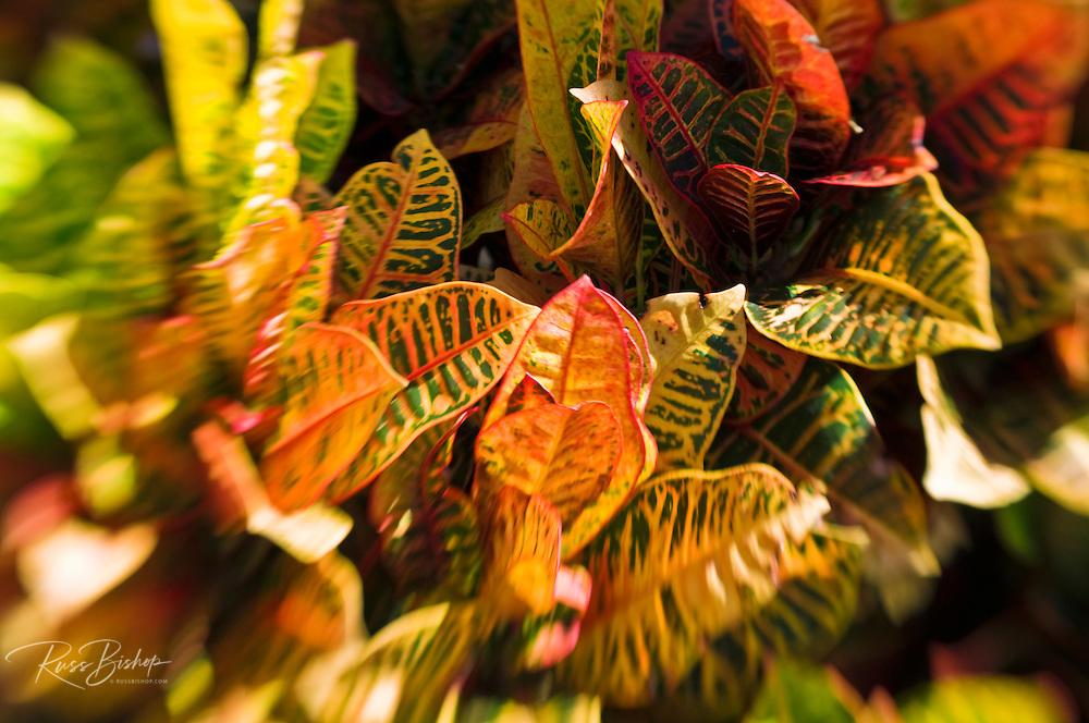 Tropical foliage, Island of Kauai, Hawaii