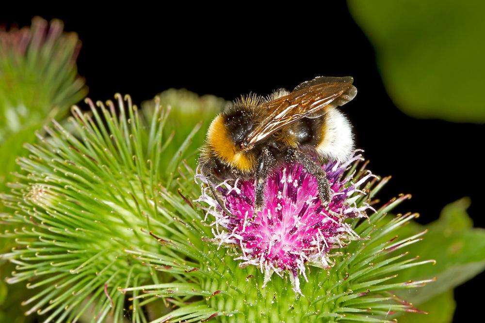Barbut's Cuckoo Bumblebee - Bombus barbutellus
