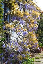 Wisteria floribunda at Eastgrove Cottage - Japanese wisteria
