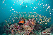 coral grouper, coral cod, or coral hind, Cepalopholis miniata, with golden sweepers, Parapriacanthus ransonneti, surrounding coral head at mouth of Hanifaru Bay, Hanifaru Lagoon, Baa Atoll, Maldives ( Indian Ocean ) and reef manta ray, Manta alfredi (formerly Manta birostris ), in background
