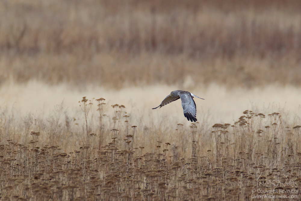 A male northern harrier (Circus cyaneus) hunts in a field near Boundary Bay, near the United States/Canadian border in British Columbia, Canada. Northern harriers often fly low over fields and marshes in search of small birds and mammals, which they catch with a sudden pounce.