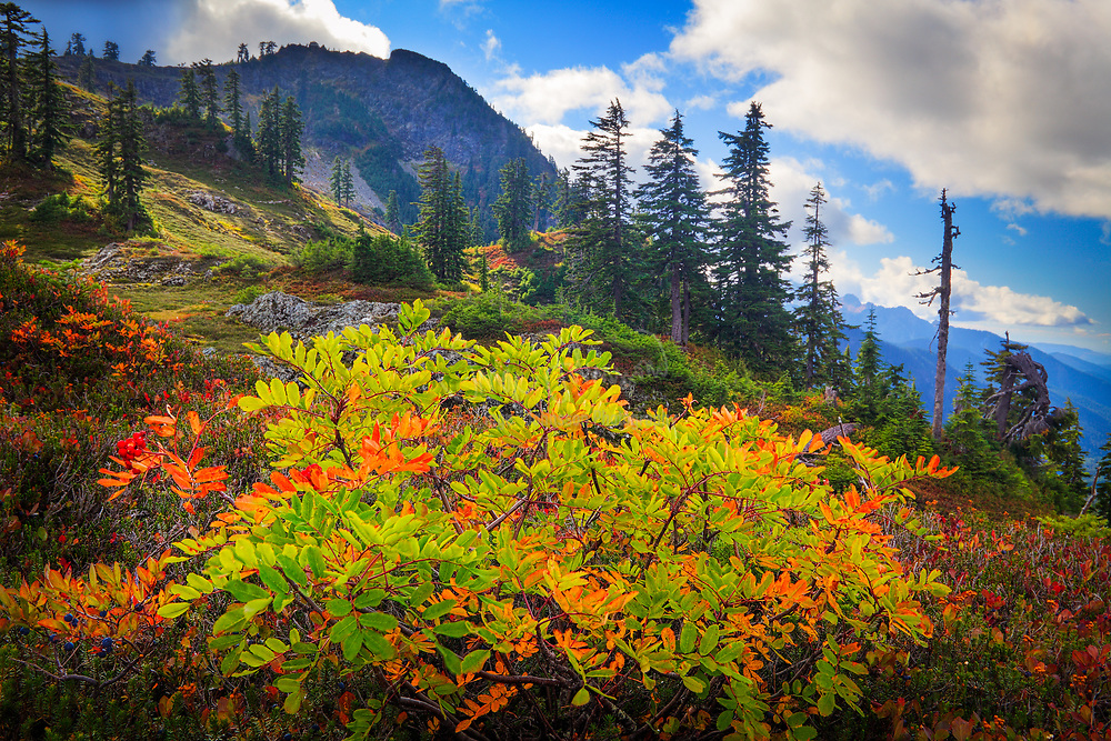 "Mountain ash in early fall near Park Butte in the Mount Baker Wilderness.<br /> .....<br /> Captured with a Canon 5D Mk II and Canon EF 28-70/2.8L lens.<br /> .....<br /> Mount Baker, also known as Koma Kulshan or simply Kulshan, is an active glaciated andesitic stratovolcano in the Cascade Volcanic Arc and the North Cascades of Washington State in the United States. Mount Baker has the second-most thermally active crater in the Cascade Range after Mount Saint Helens. About 31 miles (50 km) due east of the city of Bellingham, Whatcom County, Mount Baker is the youngest volcano in the Mount Baker volcanic field. While volcanism has persisted here for some 1.5 million years, the current glaciated cone is likely no more than 140,000 years old, and possibly no older than 80-90,000 years. Older volcanic edifices have mostly eroded away due to glaciation.<br /> .....<br /> After Mount Rainier, Mount Baker is the most heavily glaciated of the Cascade Range volcanoes; the volume of snow and ice on Mount Baker, 0.43 cu mi (1.79 km3) is greater than that of all the other Cascades volcanoes (except Rainier) combined. It is also one of the snowiest places in the world; in 1999, Mount Baker Ski Area, located 14 km (8.7 mi) to the northeast, set the world record for recorded snowfall in a single season—1,140 in (2,900 cm).<br /> .....<br /> At 10,781 ft (3,286 m), it is the third-highest mountain in Washington State and the fifth-highest in the Cascade Range, if Little Tahoma Peak, a subpeak of Mount Rainier, is not counted. Located in the Mount Baker Wilderness, it is visible from much of Greater Victoria, Greater Vancouver, and, to the south, from Seattle (and on clear days Tacoma) in Washington.<br /> .....<br /> Indigenous natives have known the mountain for thousands of years, but the first written record of the mountain is from the Spanish. Spanish explorer Gonzalo Lopez de Haro mapped it in 1790 as the Gran Montaña del Carmelo, ""Great Mount Carmel"". The explorer George Vancouver renamed the mountain for 3rd Lieutenant Joseph Bak"