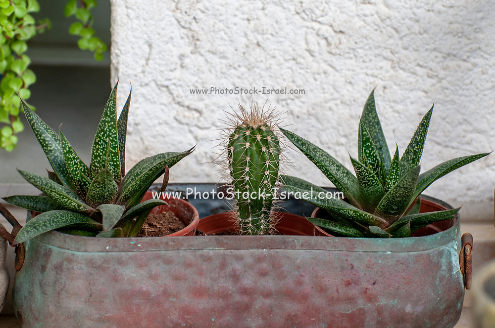 Collection of several different cacti on a windowsill. Photographed in Israel in January