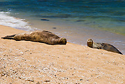 Seals on Miloli'i Beach, Na Pali Coast, Island of Kauai, Hawaii