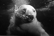 Deutschland, DEU, Stuttgart, 2000: Ein tauchender Eisbär (Ursus maritimus) atmet unter Wasser aus, Luftblasen steigen an die Wasseroberfläche, Tierpark Wilhelma. | Germany, DEU, Stuttgart, 2000: Polar bear, Ursus maritimus, diving, breething out under water, bubbles in the water, Tierpark Wilhelma, Stuttgart. |