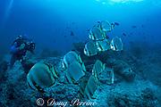 videographer and batfish or spadefish, Platax sp., Sipadan Island, off Borneo, Sabah, Malaysia ( Celebes Sea )