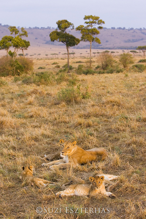 Lion<br /> Panthera leo<br /> Mother and 2-3 month old cubs at sunrise<br /> Masai Mara Conservancy, Kenya