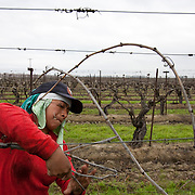 Campesinas work the fields tying grape vines near Fresno, California. Please contact Todd Bigelow directly with your licensing requests. PLEASE CONTACT TODD BIGELOW DIRECTLY WITH YOUR LICENSING REQUEST. THANK YOU!