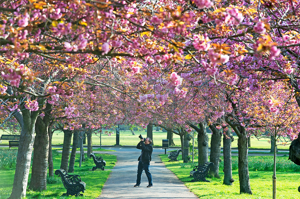 © Licensed to London News Pictures. 10/04/2019.<br /> Greenwich, UK.A photographer takes pictures of the blossom on a bright sunny spring day in Greenwich Park, London as the Cherry blossom starts to make an appearance on the trees.   Photo credit: Grant Falvey/LNP