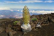 Silversword plant, Haleakala, Maui, Hawaii