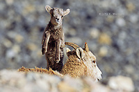 Bighorn sheep lamb jumping over an ewe (its mom) for a look, Banff National Park, Alberta, Canada