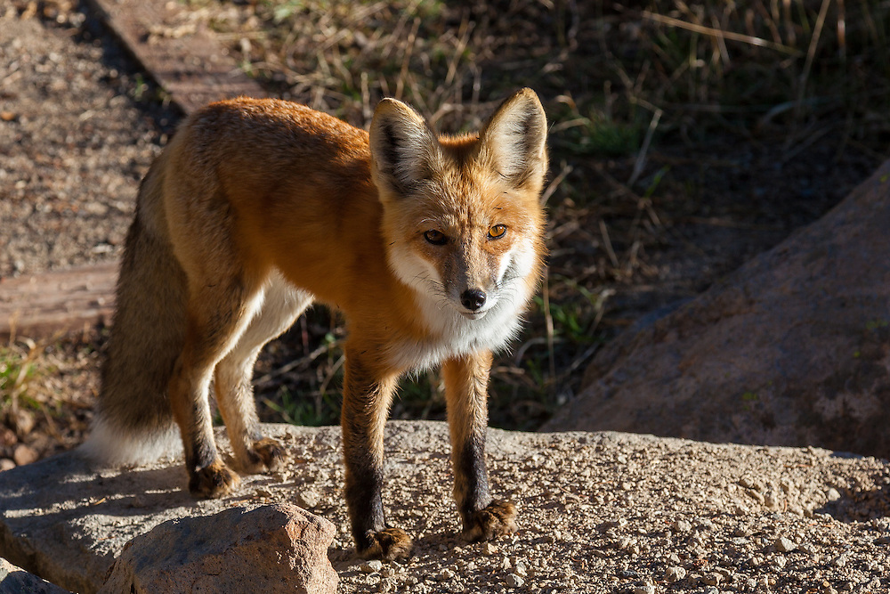 This red fox was a camp visitor, sniffing around one morning presumably having smelled our breakfast.