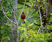 Lone Robin on Vacation in Florida. Merritt Island National Wildlife Refuge. Image taken with a Nikon Df camera and 300 mm f/4 lens (ISO 1800, 300 mm, f/4, 1/1250 sec). There was a noisy flock of American Robins in the trees, but only this one would allow me to take its picture.