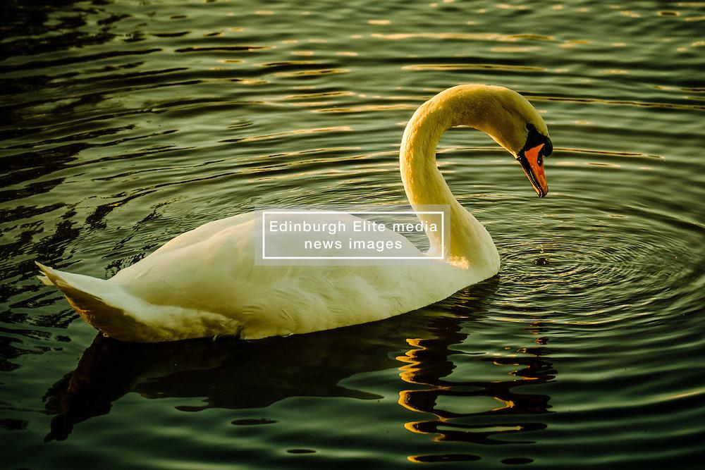 An adult swan at dusk<br /> <br /> (c) Andrew Wilson | Edinburgh Elite media