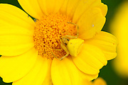 Yellow Crab Spider, Thomisus onustus, Lesvos, Greece, camouflaged on flower waiting for prey , lesbos