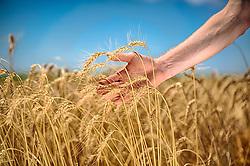 Datalhe das mãos de um agricultor examinando a produção na lavoura de trigo. FOTO: Jefferson Bernardes / Agência Preview