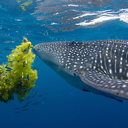 Whale shark, Rhincodon typus, swimming past a clump of seaweed sheltering a shoal of small fish, Honda Bay, Palawan, the Philippines, Sulu Sea