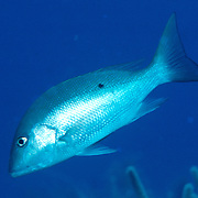 Mutton Snapper drift above reefs and sand between reefs in Tropical West Atlantic; picture taken Grand Cayman.